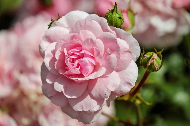 voňavá růže
