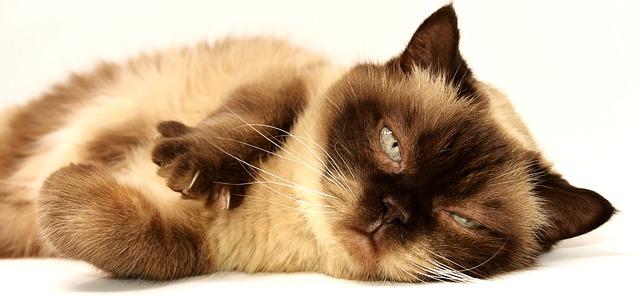 britská krátkosrstá kočka.jpg