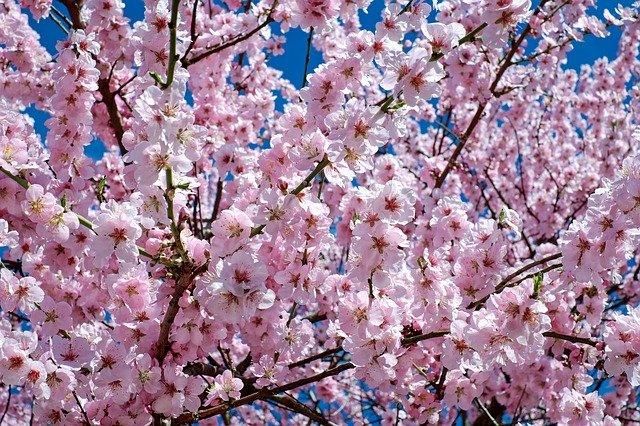 japonské třešně