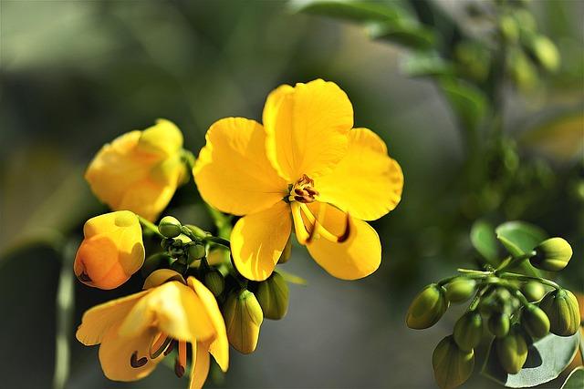 květ senny
